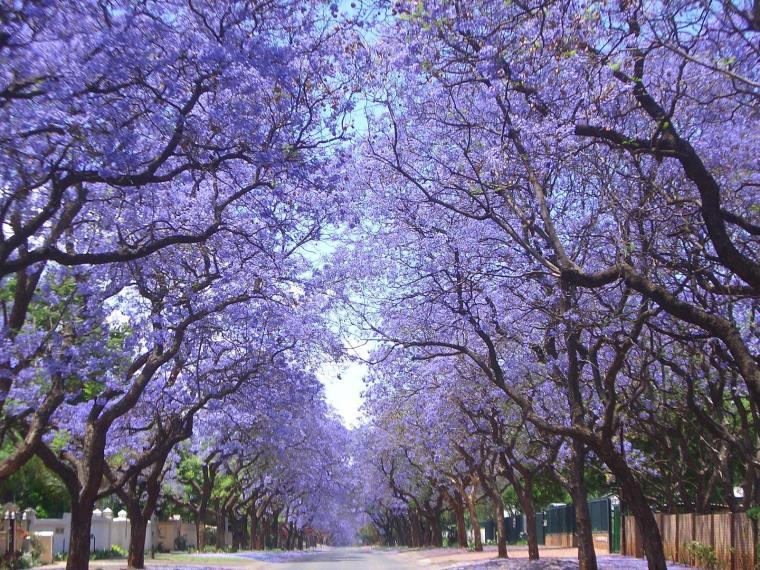paseo-de-jacarandas-en-flor